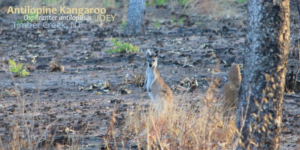 joey juvenile Antilopine Wallaroo