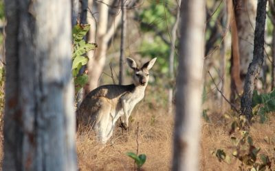 Antilopine Kangaroos of northern Australia
