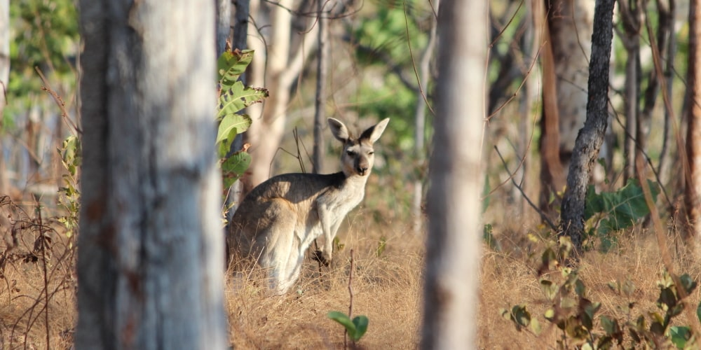 Antilopine Kangaroo female Osphranter (Macropus) antilopinus NT