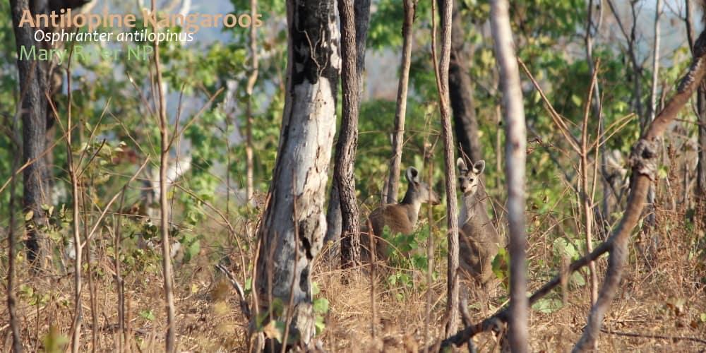 Antilopine Kangaroos Osphranter antilopinus northern Australia