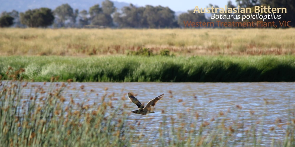 Aust Bittern flying Werribee Treatment Plant
