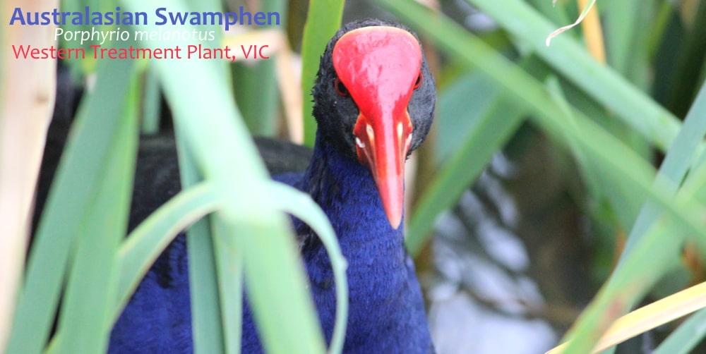 Australasian Swamphen face detail