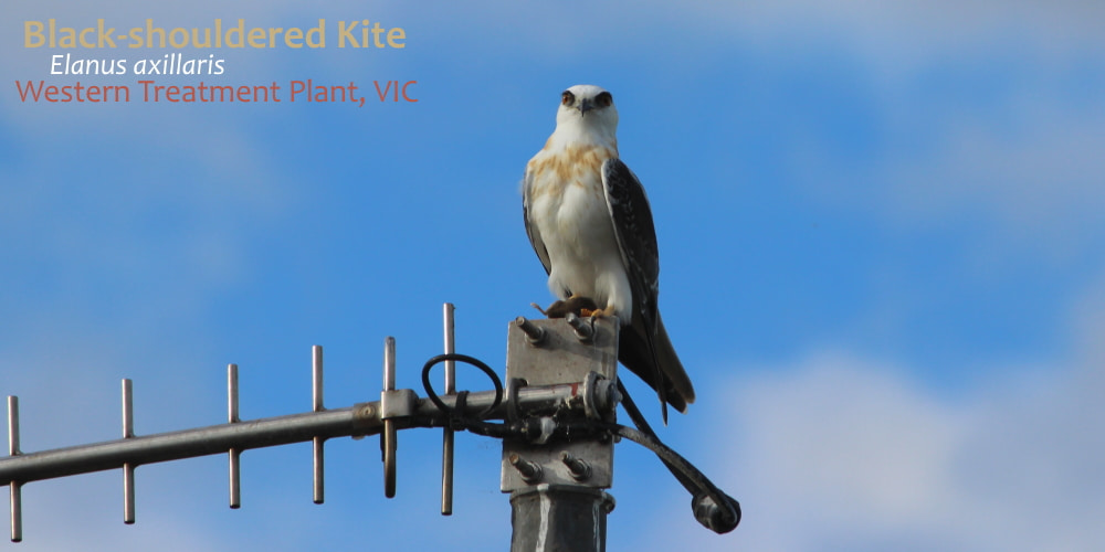 Black-shouldered Kite Werribee Victoria