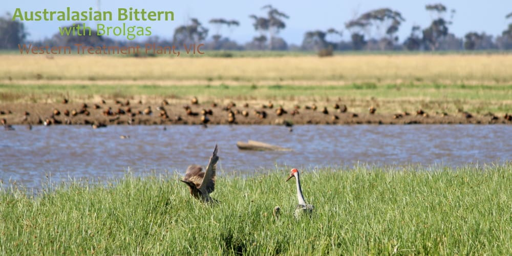 Bittern and brolga werribee poo farm
