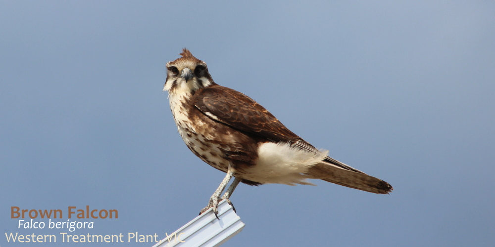Brown Falcon raptor at Werribee Treatment works