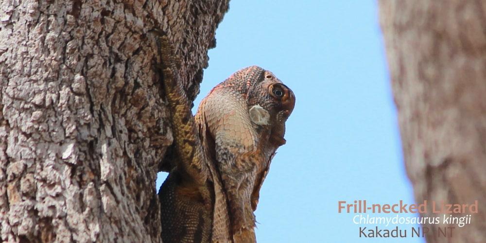 Frilled-necked Lizard Kakadu