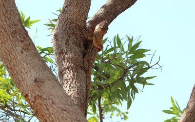 Frill-necked Lizard in Kakadu