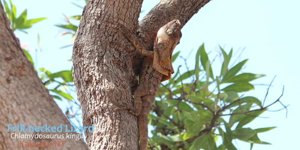 Frilled Lizard Kakadu