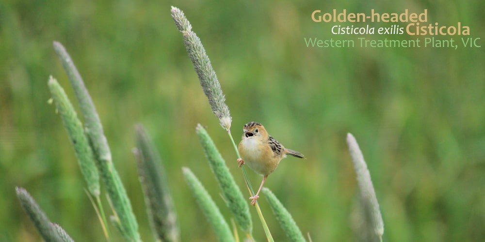 Golden-headed Cisticola why visit Western Treatment Plant