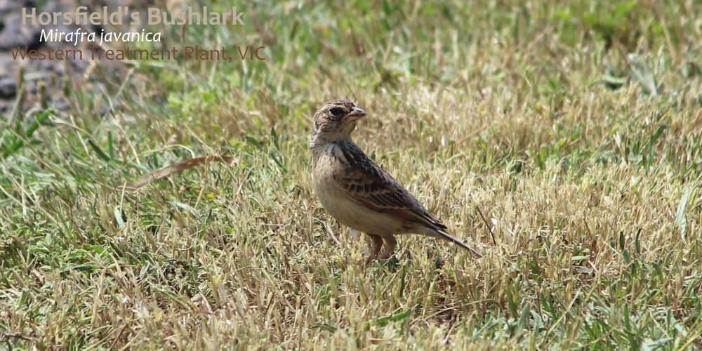horsfields bushlark on ground in grass