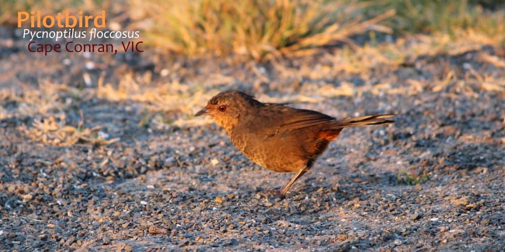 Pilotbird East Gippsland