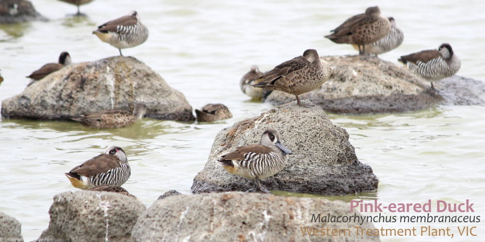 Pink-eared duck Western Treatment Plant