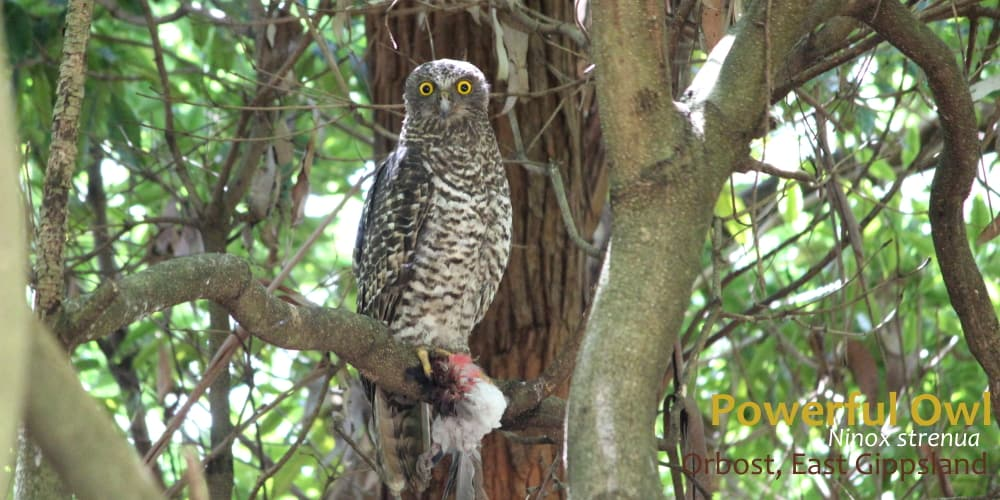 Powerful Owl female ethical bird tour