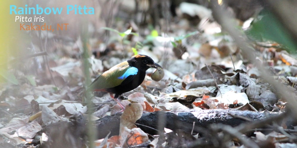 Rainbow Pitta iris behaviour immature bird Kakadu