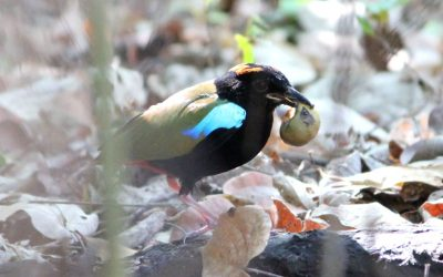 Interesting Rainbow Pitta behaviour