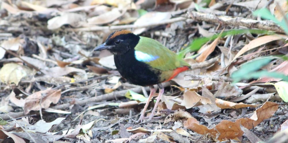 immature Rainbow Pitta Kakadu