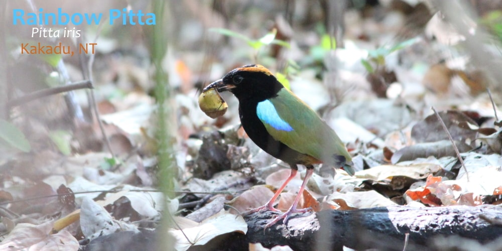 Rainbow Pitta Kakadu bird ethics