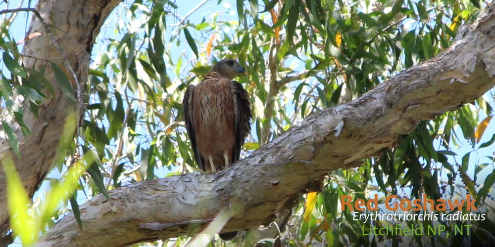 red goshawk bird tour ethics