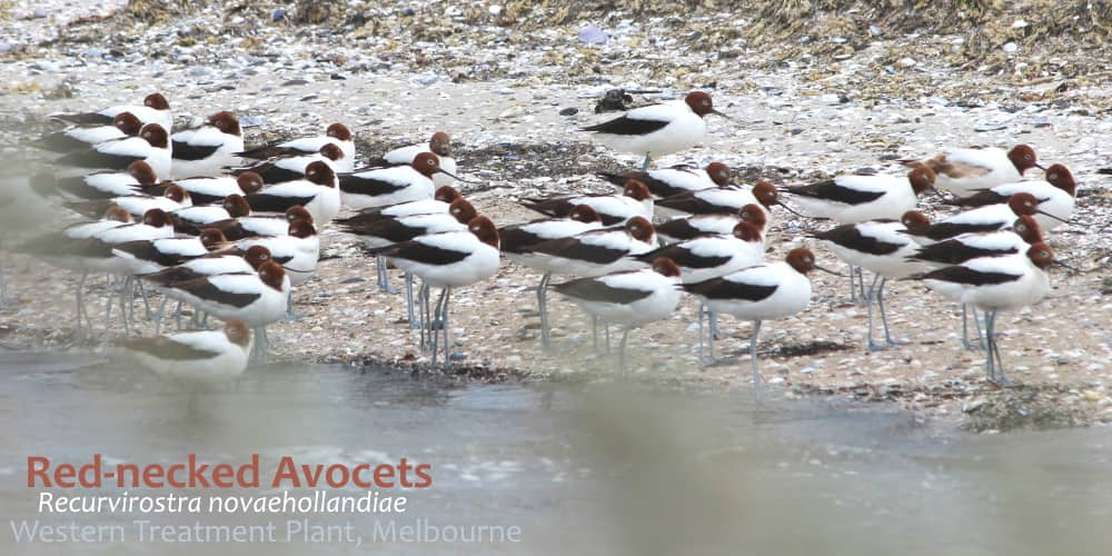 Red-necked Avocets endemic Australian shorebird