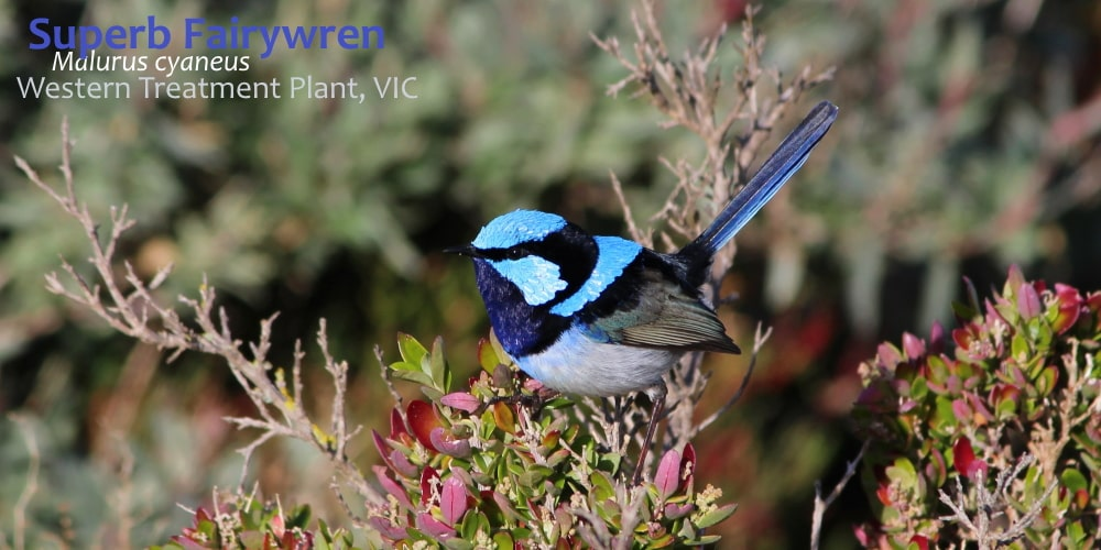 Superb Fairywren male at Werribee sewerage plant