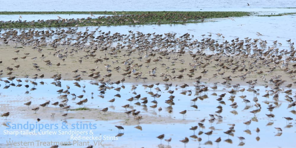 Sandpipers stints at Western Treatment Plant