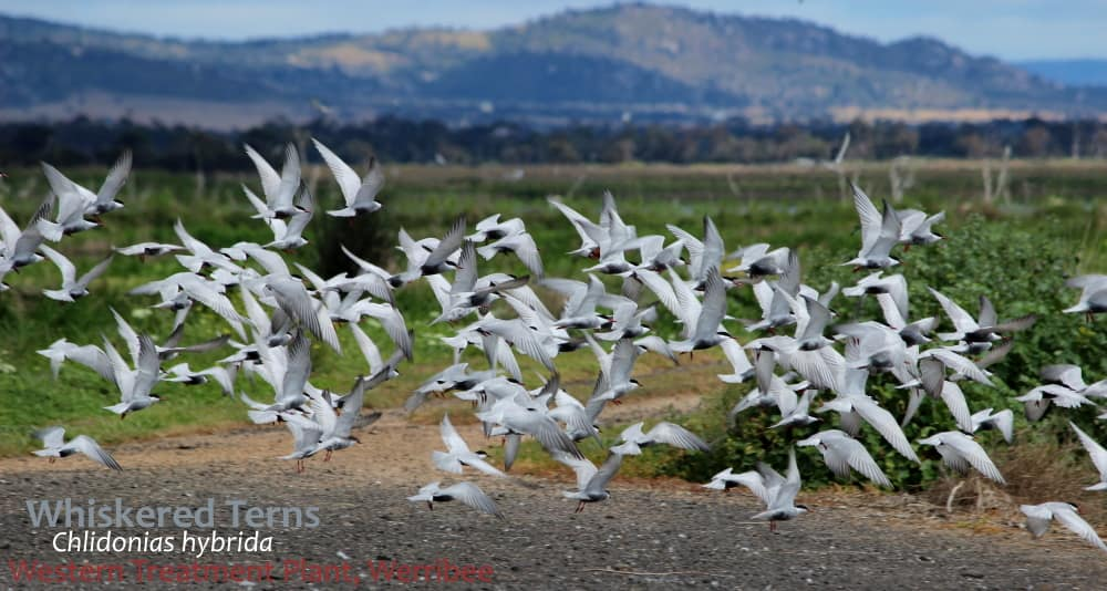 Whiskered Terns in flight reasons to visit Western Treatment Plant