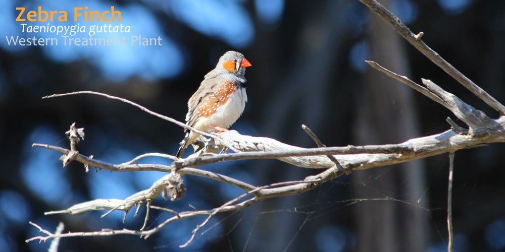 zebra finch male at the farm Western Treatment Plant