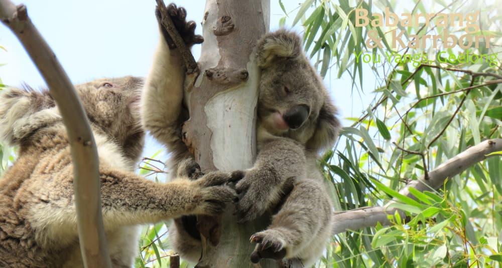Koala mother joey wild