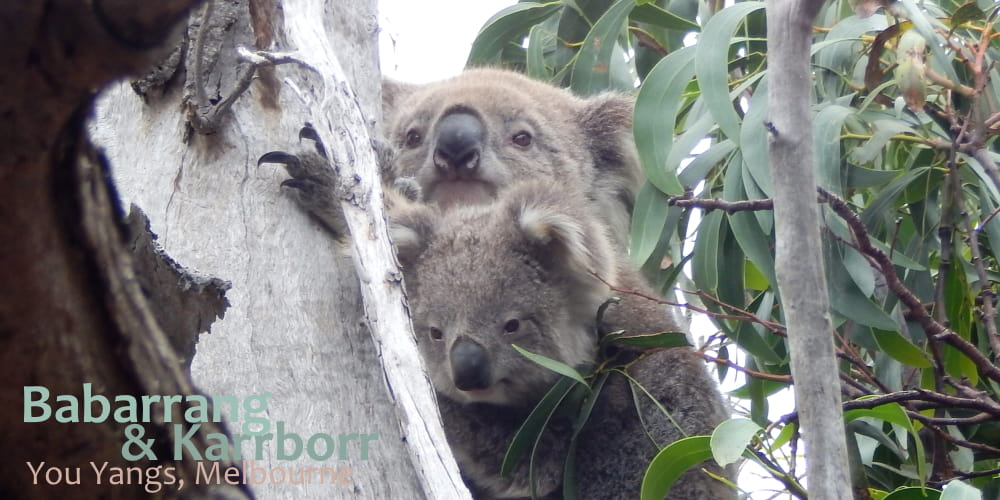 Joey koala with mother in wild