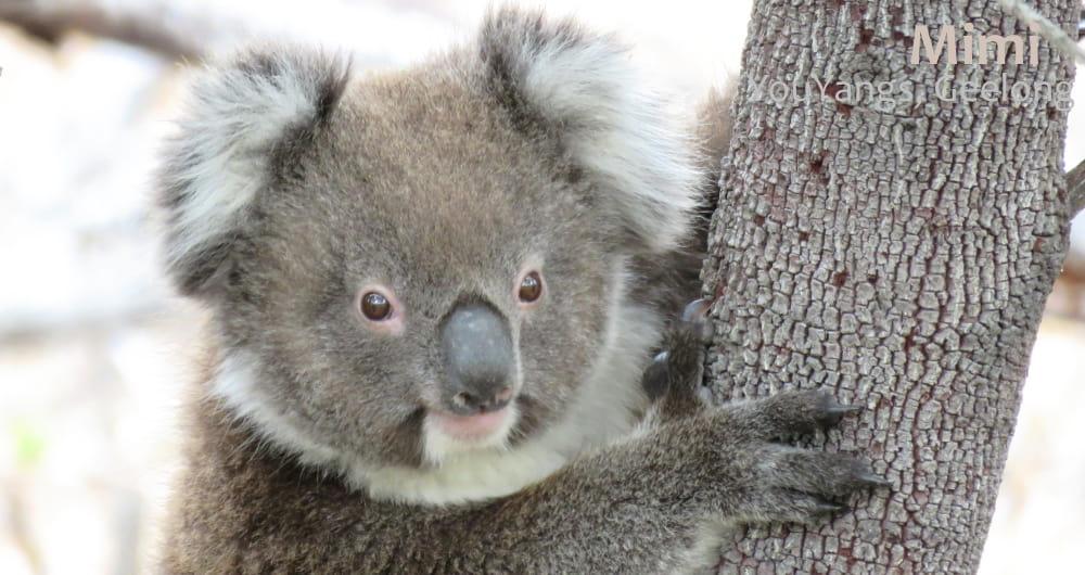 young male koala wild