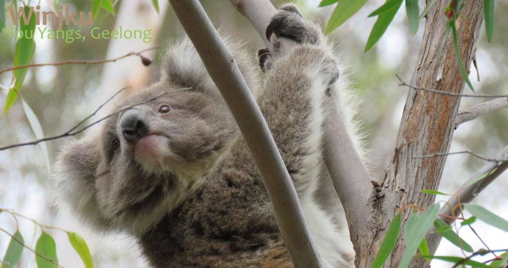 wild koala baby
