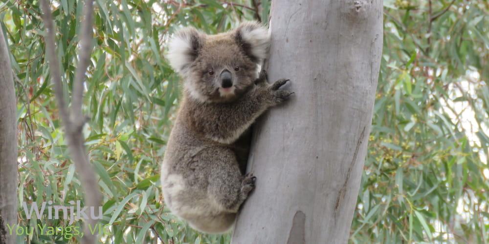 One year old female wild koala