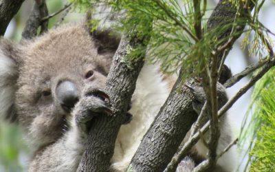 Koala Future: Joeys of 2019