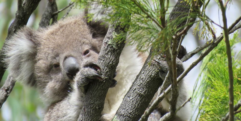 Koala Future: Joeys of 2019