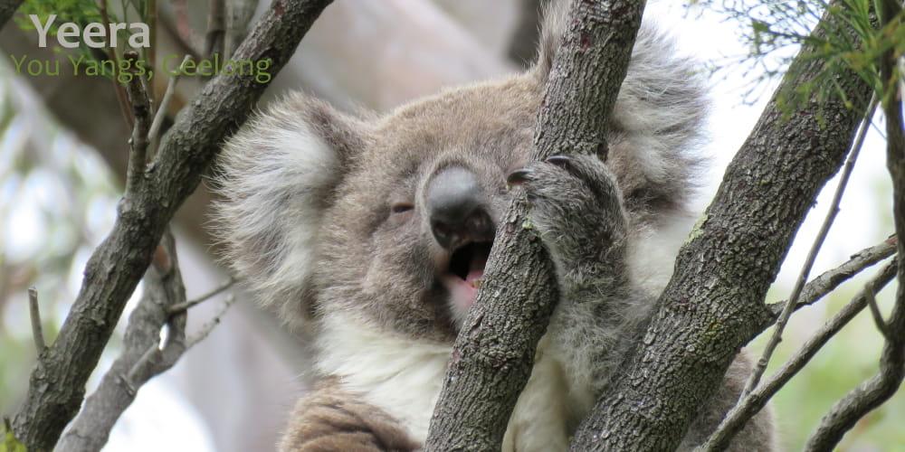 Baby koala yawning laughing