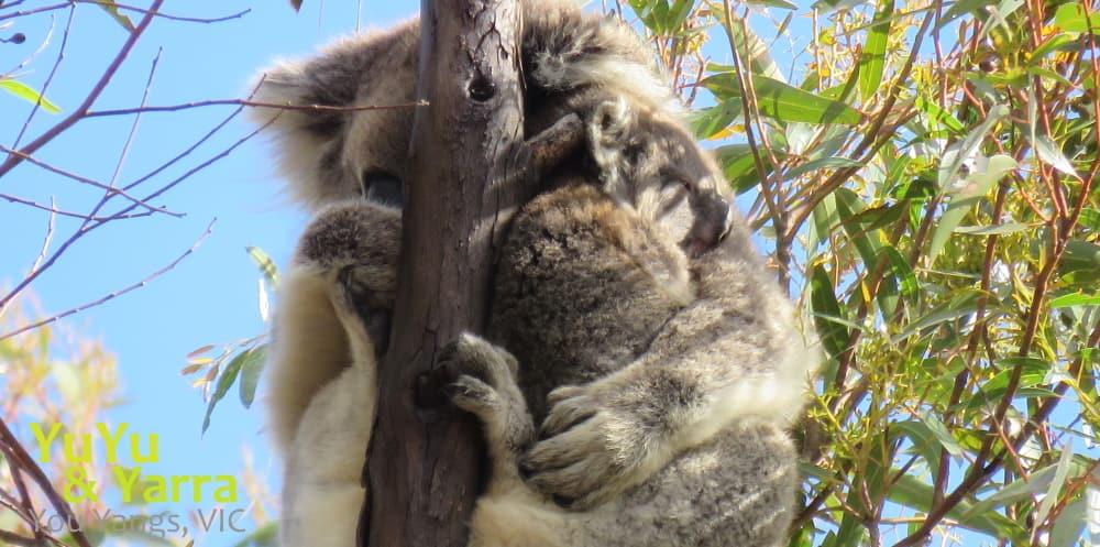 wild koala joey You Yangs future