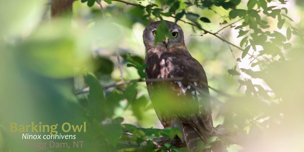 Barking Owl Ninox connivens Northern Territory