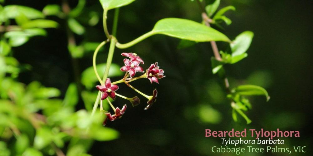 Tylophora barbata flowers Orbost