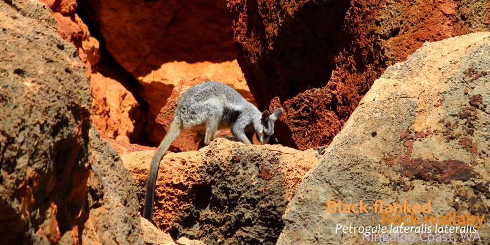 Cool rock wallaby on rock Australia