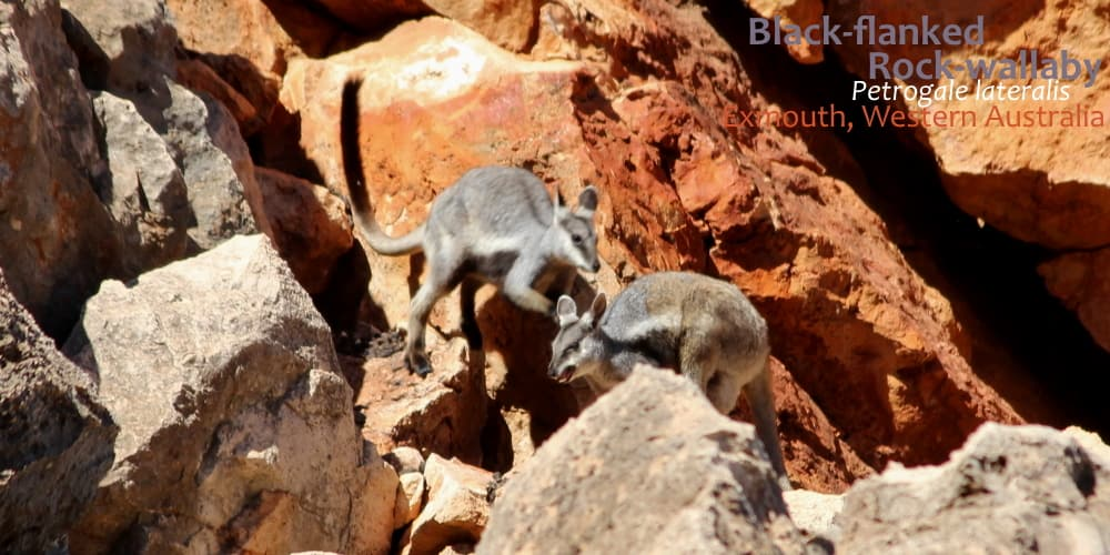 Black-flanked rock wallabies hopping vocalising Australia
