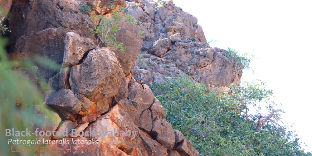 Black flanked rock wallaby on cliff Australia