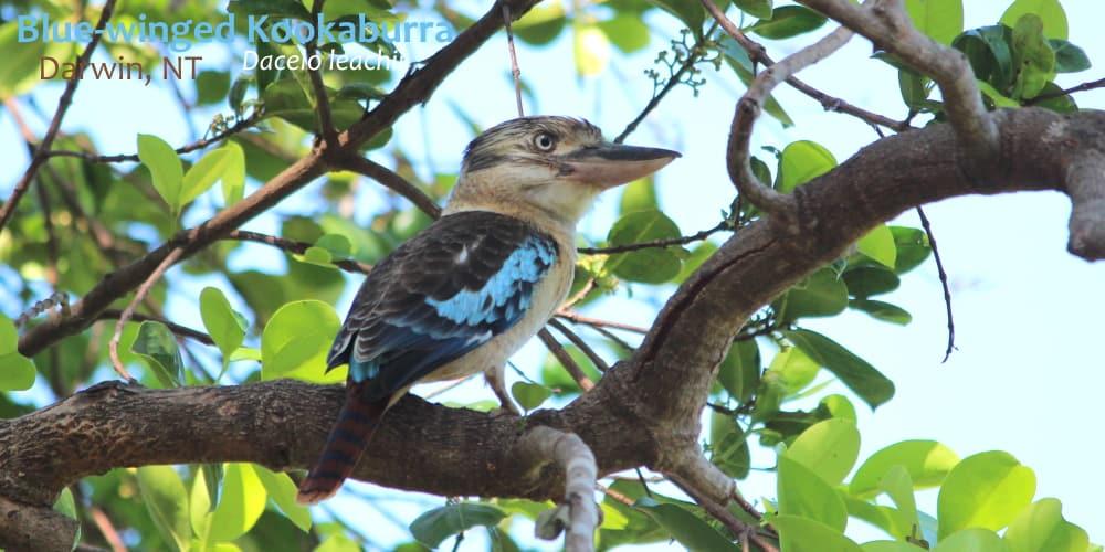 blue-winged Kookaburra Darwin, NT