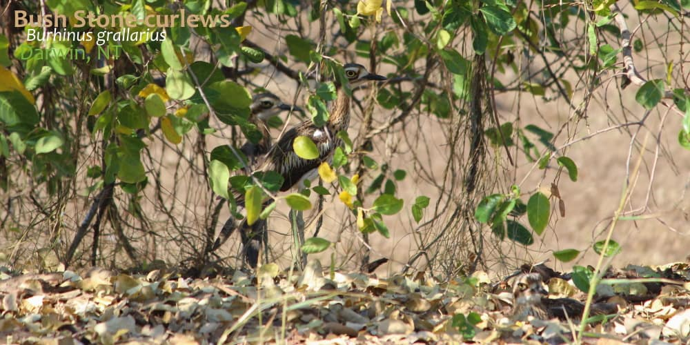 Burhinus grallarius night bird sounds Australia
