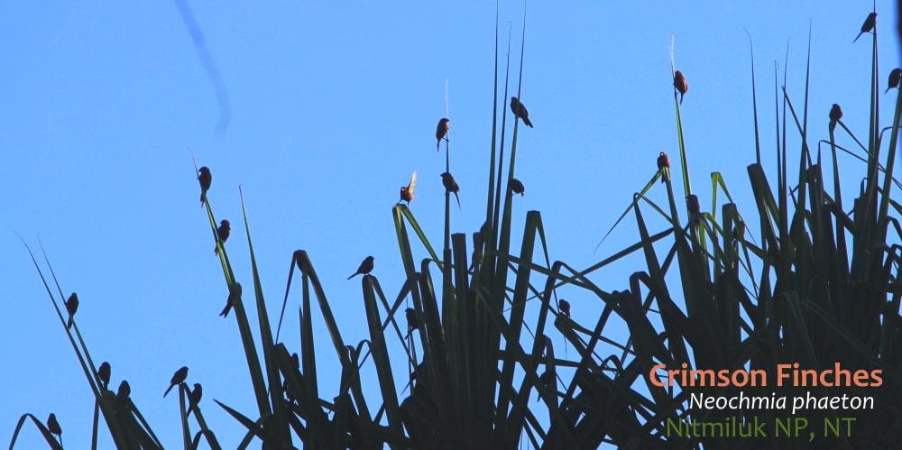 Crimson Finches on pandanus dawn