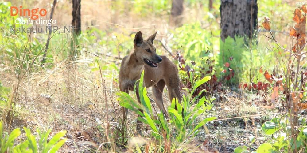 Wild dingo Kakadu