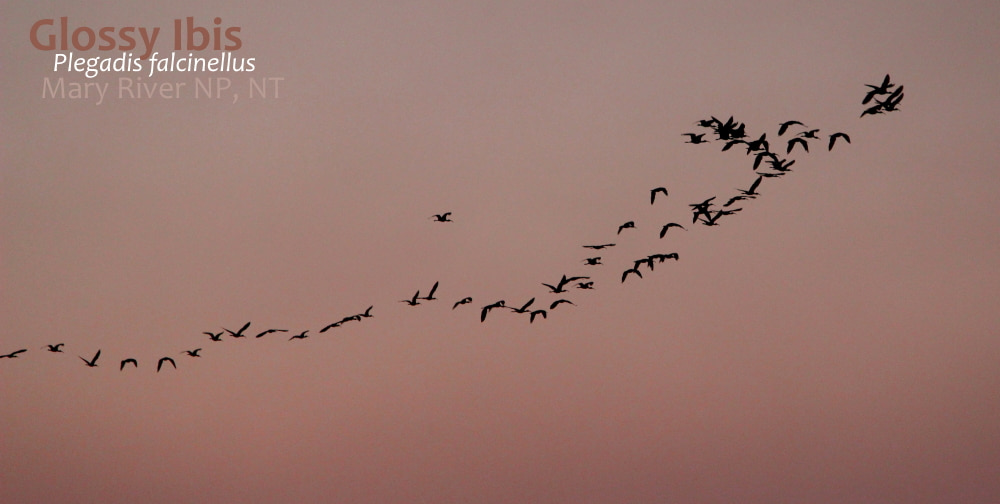Glossy Ibis flying out sunset NT