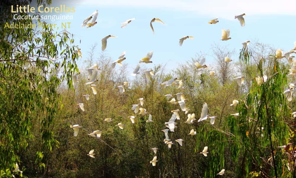 Little Corellas big flock flying NT