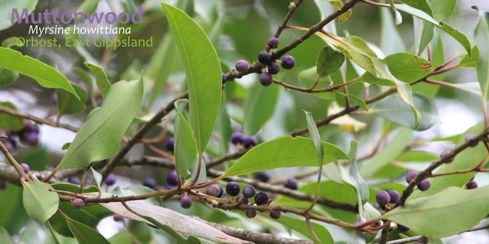 Myrsine howittiana fruit East Gippsland flora December 2019
