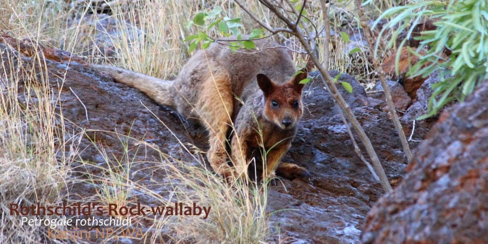 Cool Rothschilds rock wallaby Australia