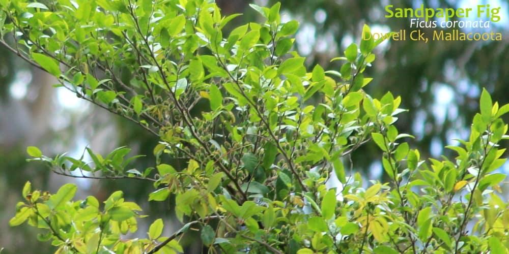 Ficus coronata East Gippsland flora December 2019